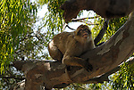 Adult Barbary Macaque laying on thick branch of tree