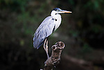Cocoi Heron, Ardea cocoi, or White Necked Heron, perched on branch, Cocha Salvador, Manu, Peru, Amazonian Jungle. .Peru....