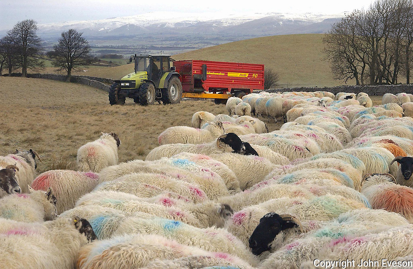 Mark Morland feeding Scottish Blackface and Cheviots ewes on a frosty February morning. The 280 ewes, part of a much larger flock owned by Mark Chippendale of Wharton Hall, Kirkby Stephen, Cumbria, are carrying single lambs and will start lambing late March and early April.