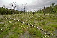 Haspelmoor, Haspel-Moor, mit Wollgras, Naturschutzgebiet, Bayern, Deutschland