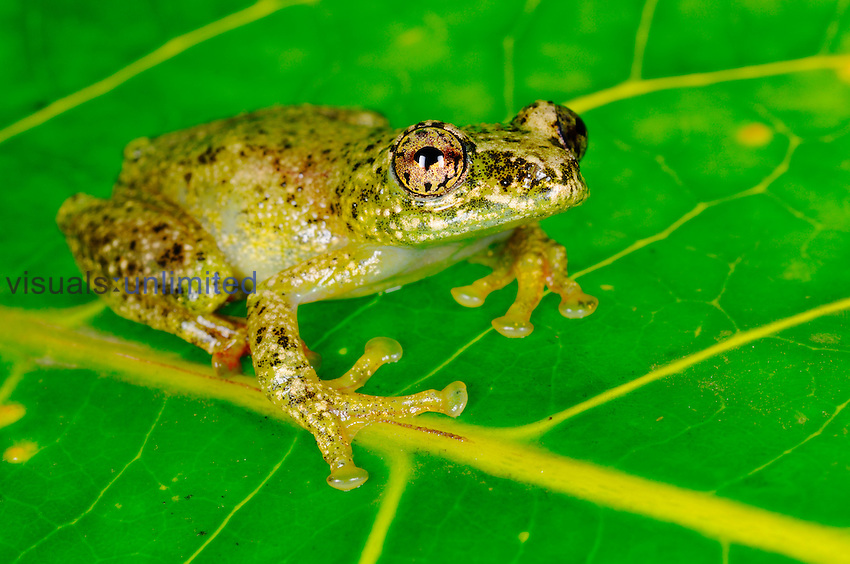 White-snouted Reed Frog (Hyperolius frontalis), Nyungwe Forest National Park, Rwanda.