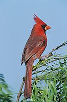 Northern Cardinal, Cardinalis cardinalis,male, Welder Wildlife Refuge, Sinton, Texas, USA, April 2005