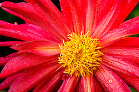 Dahlia, Seattle, Washington
