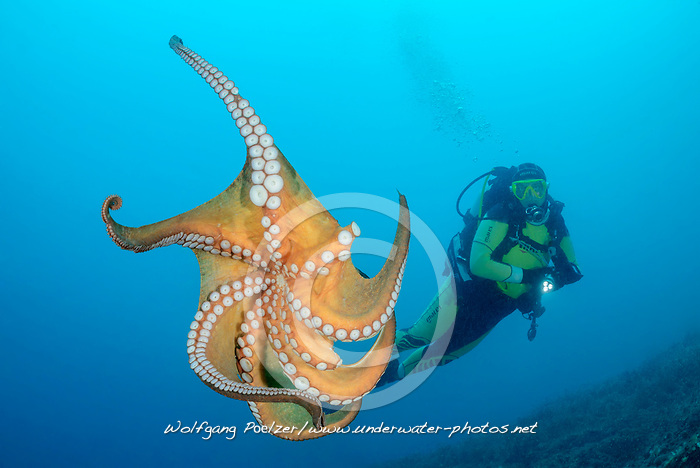 Common octopus, Gemeiner Krake und Taucher, Common Octopus and scuba diver, Adria, Adriatisches Meer, Mittelmeer, Kornaten, Dalmatien, Kroatien, Adriatic Sea, Mediterranean Sea, Kornati, Dalmatia, Croatia, MR YES
