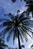 Itaparica Island, Brazil. Coconut palm tree from below; Bahia State.