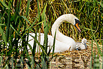 The swan in Blennerville with her baby chicks