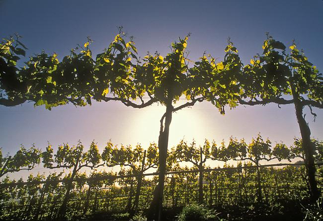 Chardonnay grapes in vineyard in Carneros district
