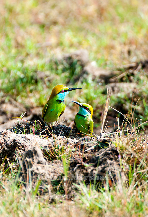 Green bee-eaters (Merops orientalis) (sometimes little green bee-eater) is a near passerine bird in the bee-eater family. Bundala National Park, Sri Lanka.