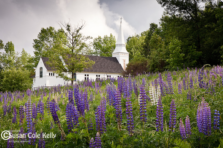 Lupines bloom in the field at St. Matthews Church in Sugar Hill, NH, USA