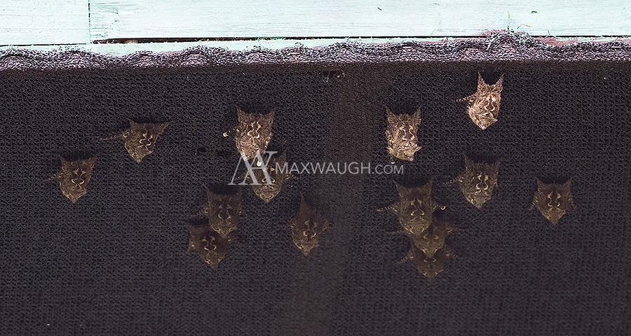 Proboscis bats hang under the eaves of a roof at La Selva Biological Station.