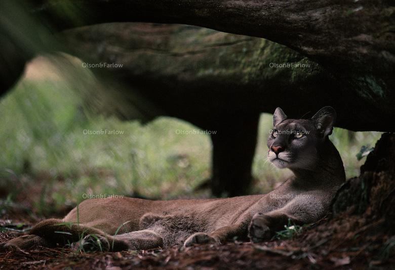Efforts are being made to save the endangered Florida panther at White Oak Conservation Center, one of the world's premiere wildlife breeding, research facilities. <br /> <br /> Located along the St. Mary's River in North Florida, the center spans 600 acres and is surrounded by 6,800 acres of pine and hardwood forest and wetlands.