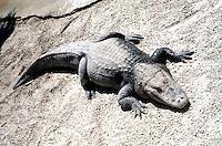 REPTILES &amp; AMPHIBIANS<br /> Alligator<br /> Alligator mississipiensis