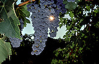 CABERNET SAUVIGNON GRAPES on the vine - CALIFORNIA.