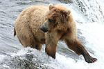 brown bear fishing and looking at cubs