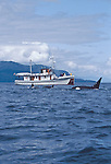 Alaska, Southeast Alaska, Passenger vessel, M/V Catalyst, Orca whales, Stephens Passage, These small ship cruises are by Pacific Catalyst II Inc.