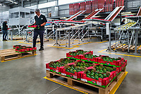 A Colombian worker carries a box of avocados during the packing process at a processing plant in Sonsón, Antioquia department, Colombia, 22 October 2019. Over the past decade, the Colombian avocado industry has experienced massive growth, both as a result of general economic development in Colombia, and the increased global demand for so-called superfood products. The geographical and climate conditions in Antioquia (high altitude, no seasonal extremes, high precipitation rate) allow two harvest windows of the Hass avocado variety across the year. Although the majority of the Colombian avocado exports are destined towards Europe now, Colombia aspires to become one of the major avocado suppliers to the U.S. market in the near future.
