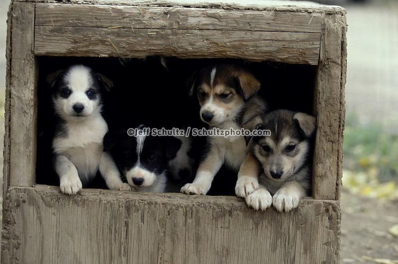 Susan Butcher Puppies In Dog House Alaska