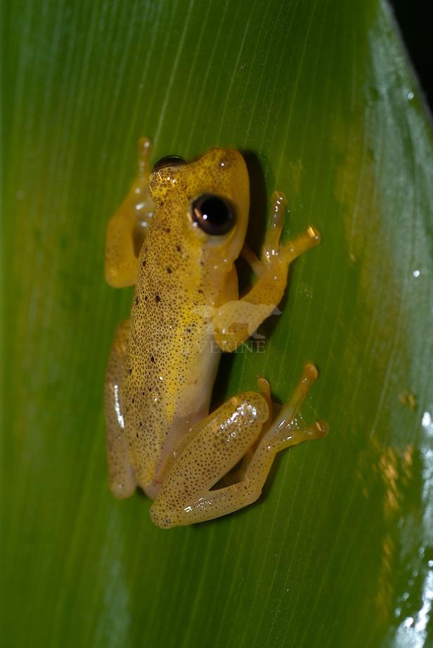 Boomkikker (Heterixalus betsileo), Andasibe , Madagascar