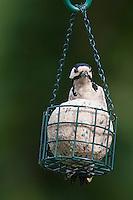 Buntspecht an der Vogelfütterung, Fütterung am Fettfutter, Meisenknödel, Bunt-Specht Specht, Spechte, Dendrocopos major, Great Spotted Woodpecker, Woodpeckers. Pic épeiche. Ganzjahresfütterung, Vögel füttern im ganzen Jahr, Vogelfutter der Firma GEVO, Riesen-Meisenknödel in Meisenknödelhalter