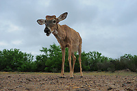 White-tailed Deer (Odocoileus virginianus), buck in desert, Laredo, Webb County, South Texas, USA