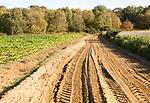 Sandy track through heath vegetation in Suffolk Sandlings heathland, Shottisham,, Suffolk, England, UK
