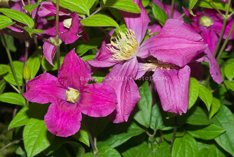 Clematis Inspiration ('Zoin') perennial climbing vine purple flowers