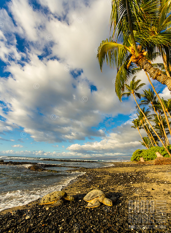 Two turtles rest on a salt-and-pepper sand beach lined with coconut palm trees on a sunny Christmas day, Mauna Lani, Big Island.
