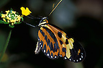 Heliconius hecale butterfly, Feeding, Ecuador South America, yellow orange and black colour.Ecuador....