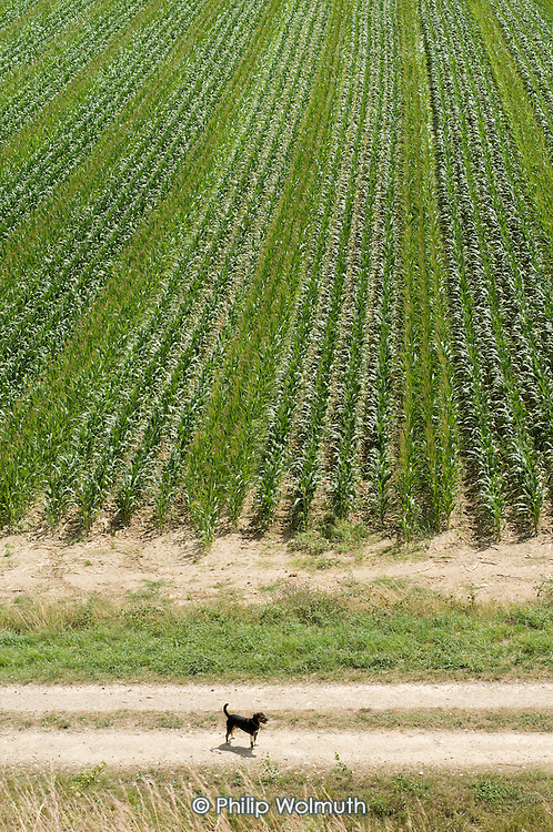 A dog in a field of maize in the Ariège department.