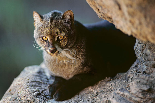 Jaguarundi Cat (Puma yagouaroundi)