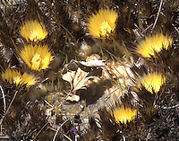 A golden Barrel cactus in bloom at Tohono Chul Park in Tucson, Arizona.