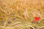 Wheat fields and wildflowers near Bavorov, Bohemia, Czech Republic.