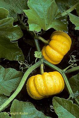 HS24-095e  Pumpkin - growing in garden - Jack Be Little variety