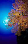 Seascape with Gorgonian Sea Fan on reef wall..Great barrier Reef, Queensland, Australia