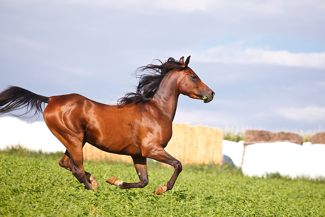 Bay Arabian horse galloping in fenced pasture