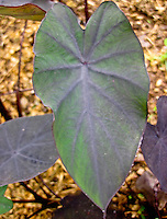 Kalo (or taro) leaf plants, Big Island.