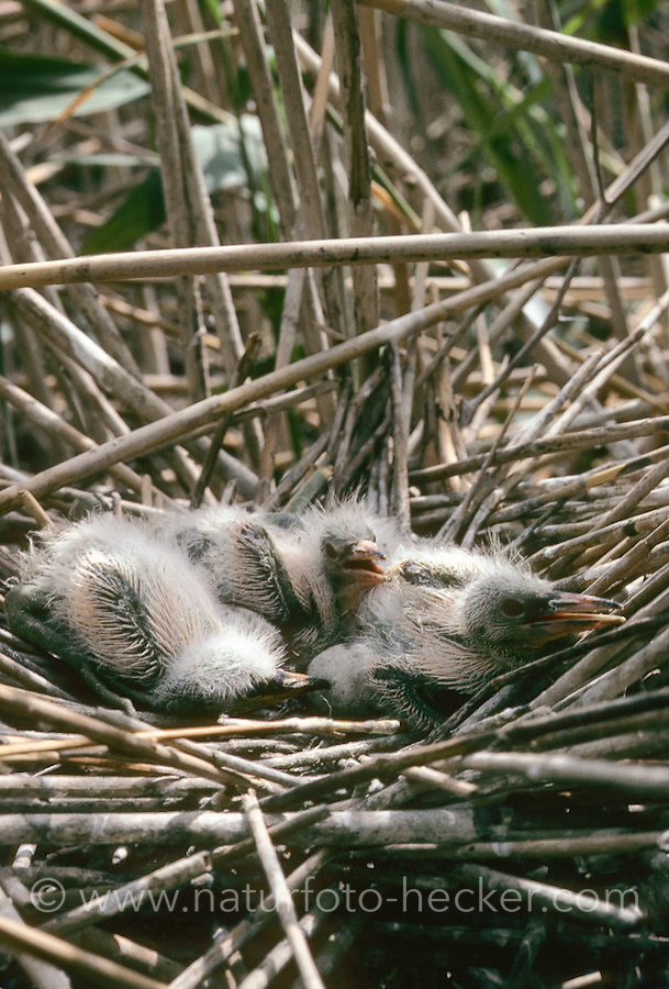 Seidenreiher, Seiden-Reiher, Küken im Nest, Reiher, Egretta garzetta, Little Egret