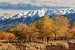 Trees in fall below the White Mountains, at the San Francis Ranch, est, 1861, Bishop, Eastern Sierra, California