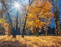 Yosemite National Park, California<br /> Black oak (Quercus kelloggii) with morning sun illuminating fall colored branches in El Capitan meadow, Yosemite Valley