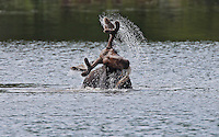 Bull Moose Shaking Head in Pond #M69