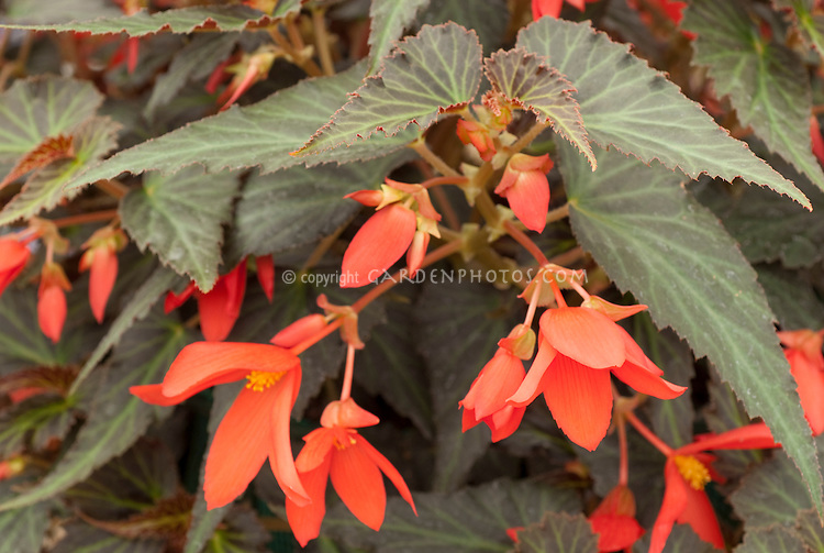Begonia Million Kisses Amour annual flowering plant