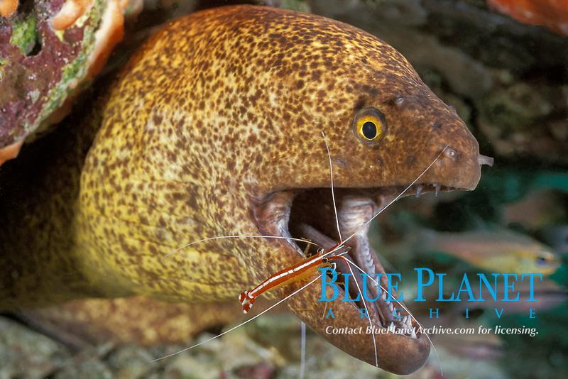 yellow-edged moray, yellowmargin moray eel, Gymnothorax flavimarginatus, being cleaned by humpback cleaner shrimp, Lysmata amboinensis, Mabul, Sabah, Borneo, Malaysia