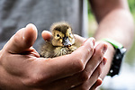 Pictured:  The duckling in Will's hand.<br /> <br /> A couple have become the unexpected owners of a duckling after finding an abandoned egg - and hatching it in their oven.  Heartwarming photographs and videos show the days-old duckling following Will Hall and Alice Kendall around their home after they rescued it, even 'terrifying' their big German pointer, Meg.<br /> <br /> Mr Hall, a teacher at leading independent school Winchester College, discovered the duck egg while out walking in a grassy area on Saturday and couldn't find its nest.  Not wanting to leave the egg, the 26 year old FaceTimed his events coordinator partner and the pair hatched a plan to save it.<br /> <br /> Miss Kendall, 22, preheated the oven at their home in Winchester, Hants, ready for their arrival, setting up a makeshift incubator by placing a tea towel on a baking tray.  SEE OUR COPY FOR DETAILS.<br /> <br /> Please byline: WRH Photography/Solent News<br /> <br /> © WRH Photography/Solent News & Photo Agency<br /> UK +44 (0) 2380 458800