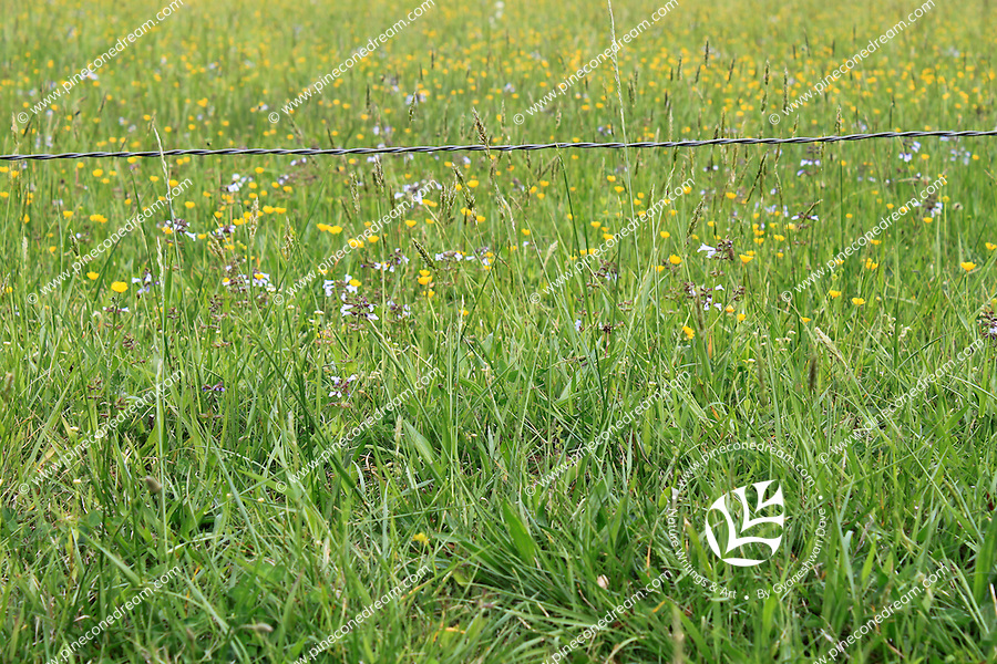 A barbed wire of a fence stands between me and a meadow filled with buttercup wildflowers and tall grass in cades cove valley of the great smoky mountain national park in Tennessee, America.