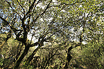 Israel, Upper Galilee, Oak trees at Baram forest