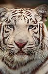 Portrait of a white tiger