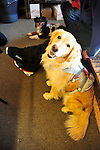 Avalanche rescue lab, Jenny, buckled into her harness, and on duty, at the ski patrol hut at the summit of Crested Butte ski resort, Colorado.