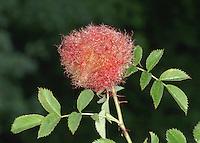Robin's Pincushion - Diplolepis rosae