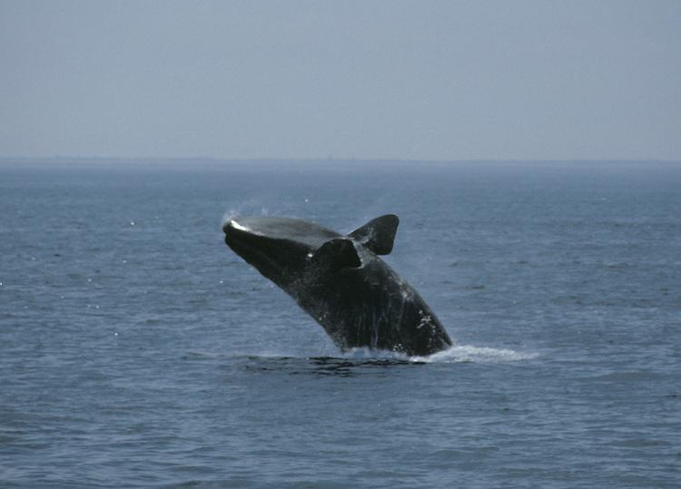 North Atlantic Right Whale - Eubalaena glacialis