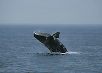 North Atlantic Right Whale - Eubalaena glacialis